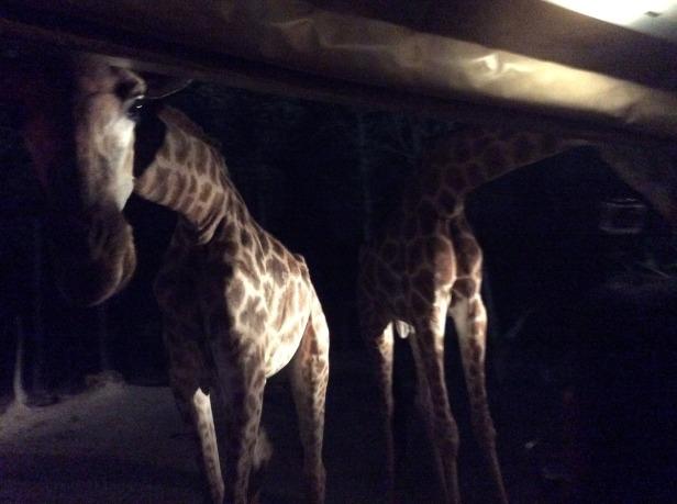 7508337-Giraffe_Chiang_Mai_Night_Safari_Chiang_Mai
